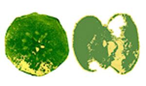 Яблочные отпечатки