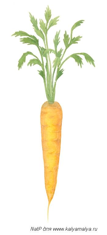 Учимся рисовать. Морковь