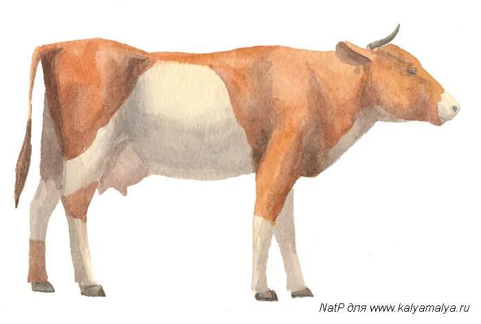 Учимся рисовать. Корова