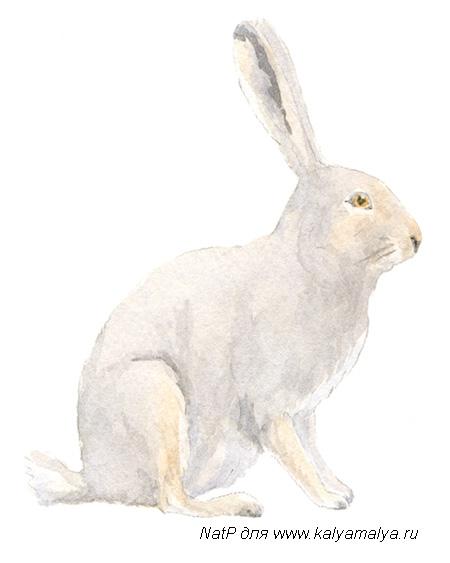 Учимся рисовать. Заяц
