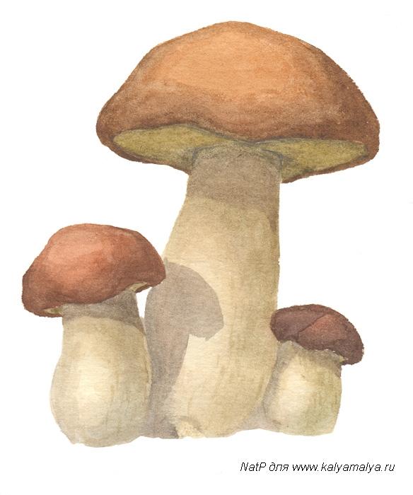 Учимся рисовать. Белые грибы