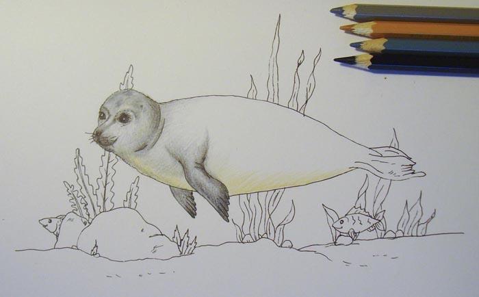 Бежевым карандашом заштрихуйте нижнюю часть живота животного. Карандашами серых оттенков раскрасьте ласты, а черным – углубите на них тени