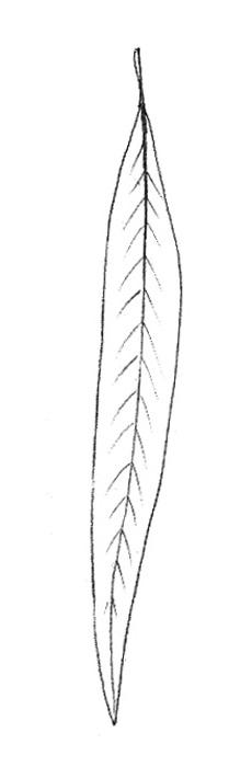 Осенний лист ивы