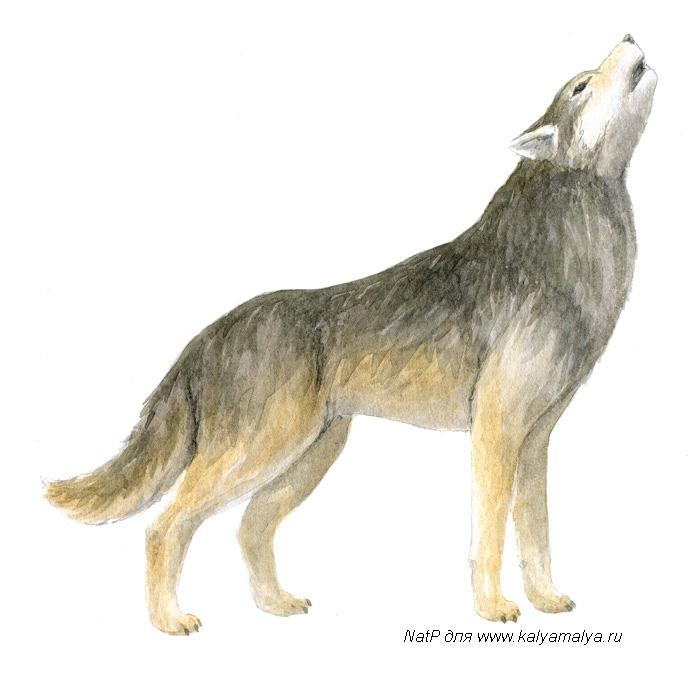 Учимся рисовать. Волк
